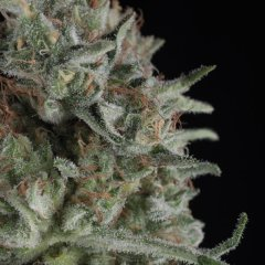 семена конопли сорт Critical Plus feminized, Trikoma Seeds