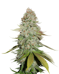 семена конопли сорт STICKY MONKEY GG#4 FEMINIZED, Seedstockers