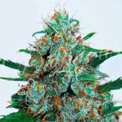 семена конопли сорт Auto Critical Neville Haze feminized, Delicious Seeds