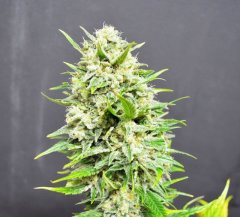 Auto Big Skunk feminized, Amsterdam Seeds