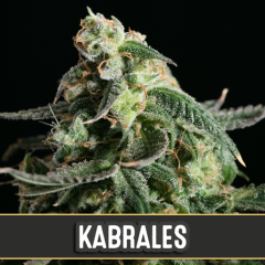 семена конопли сорт Kabrales Automatic feminized, Blimburn Seeds