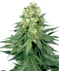 семена конопли сорт White Widow Feminised, Sensi White Label