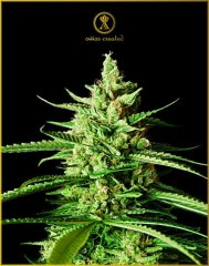 AK-01 feminised, Anaсonda Seeds