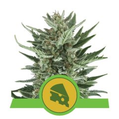 семена конопли сорт Auto Royal Cheese feminized, Royal Queen Seeds