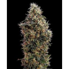 семена конопли сорт Auto Sweet Mango Feminised, Green House Seeds