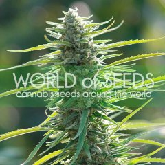 Colombian Gold feminized, World of Seeds