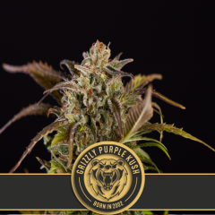 семена конопли сорт Grizzly Purple Kush feminized, Blimburn Seeds