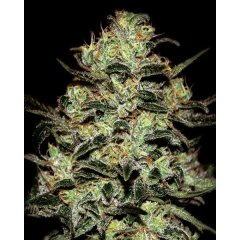 семена конопли сорт Moby Dick Feminised, Green House Seeds