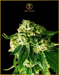 Russian Gold feminised, Anaсonda Seeds