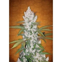 семена конопли сорт Auto Girl Scout Cookies feminized, Fast Buds