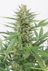 семена конопли сорт Auto Cheese XXL feminized, Dinafem Seeds