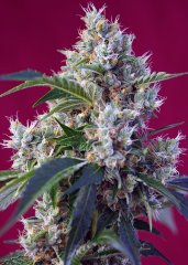 семена конопли сорт Indigo Berry Kush SWS63 feminized, Sweet Seeds