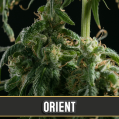 семена конопли сорт Orient Automatic feminized, Blimburn Seeds