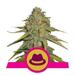 семена конопли сорт O.G. Kush feminized, Royal Queen Seeds