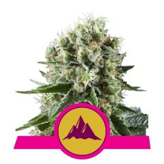 семена конопли сорт Critical Kush feminized, Royal Queen Seeds