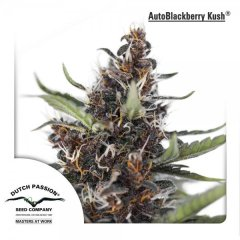 семена конопли сорт Auto Blackberry Kush feminised, Dutch Passion