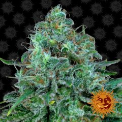 семена конопли сорт Critical Kush Feminised, Barney's Farm