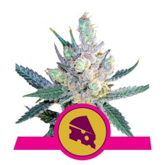 семена конопли сорт Royal Cheese Fast feminized, Royal Queen Seeds