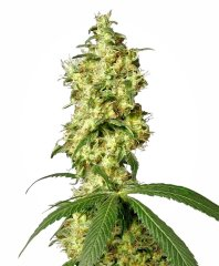 семена конопли сорт White Widow Automatic feminized, Sensi White Label