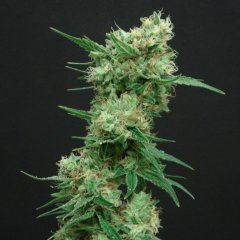 White Widow feminized, Amsterdam Seeds
