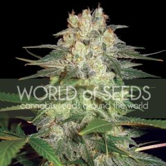 Auto Afghan Kush Ryder feminized, World of Seeds