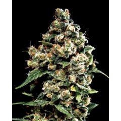 семена конопли сорт Jack Herer Feminised, Green House Seeds