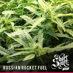 семена конопли сорт Russian Rocket Fuel Auto feminized, Short Stuff Seedbank