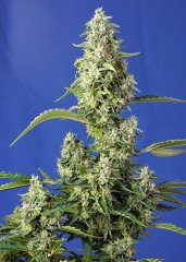 семена конопли сорт Auto Gorilla Girl XL SWS82 feminized, Sweet Seeds