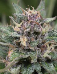 семена конопли сорт Auto BlueHell feminized, Medical Seeds
