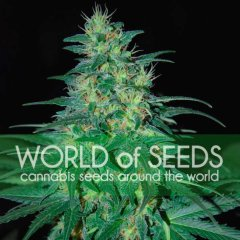 South African Kwazulu feminized, World of Seeds