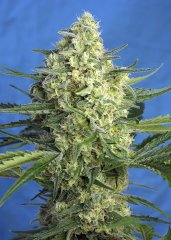 семена конопли сорт Auto Jack 47 XL SWS78 feminized, Sweet Seeds