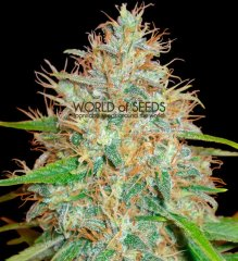 Afghan Kush x Skunk feminized, World of Seeds