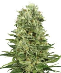 семена конопли сорт Skunk Automatic feminized, Sensi White Label