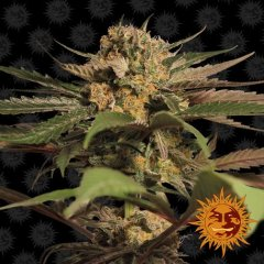 семена конопли сорт Violator Kush Feminised, Barney's Farm