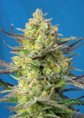 семена конопли сорт Auto Sweet Cheese XL SWS77 feminized, Sweet Seedss