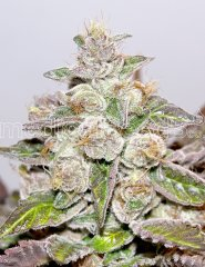 семена конопли сорт Mendocino Purple Kush feminized, Medical Seeds