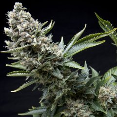 семена конопли сорт New York City feminized, Pyramid Seeds