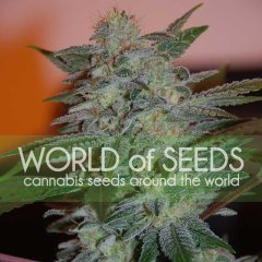 Yumbolt 47 feminized, World of Seeds