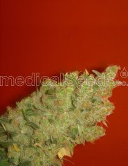 семена конопли сорт Jack La Mota feminized, Medical Seeds