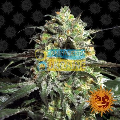 семена конопли сорт Peyote Cookies Feminised, Barney's Farm