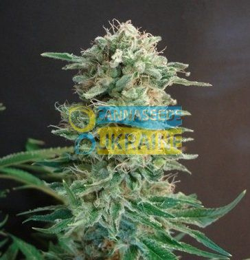 семена конопли сорт Big Dutch Bud feminized, Amsterdam Seeds