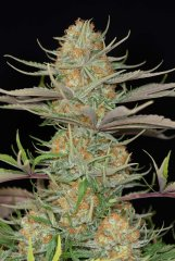семена конопли сорт Sweet Deep Grapefruit feminized, Dinafem Seeds