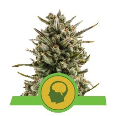 семена конопли сорт Auto Amnesia Haze feminized, Royal Queen Seeds