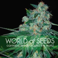 Ketama feminized, World of Seeds