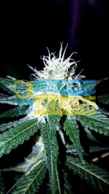 семена конопли сорт Sugar Black Rose Fast Version feminized, Delicious Seeds