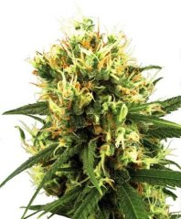 семена конопли сорт White Haze Automatic feminized, Sensi White Label