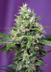 семена конопли сорт Auto Sweet Amnesia Haze XL SWS57 feminized, Sweet Seeds