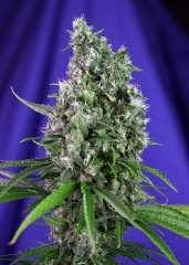 семена конопли сорт Auto Sweet Trainwreck SWS47 feminized, Sweet Seeds