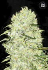 семена конопли сорт Bubblegum Extra feminized, Bulk Seed Bank