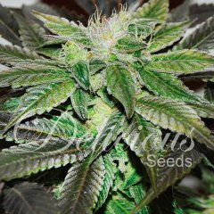 семена конопли сорт Sugar Candy feminized, Delicious Seeds